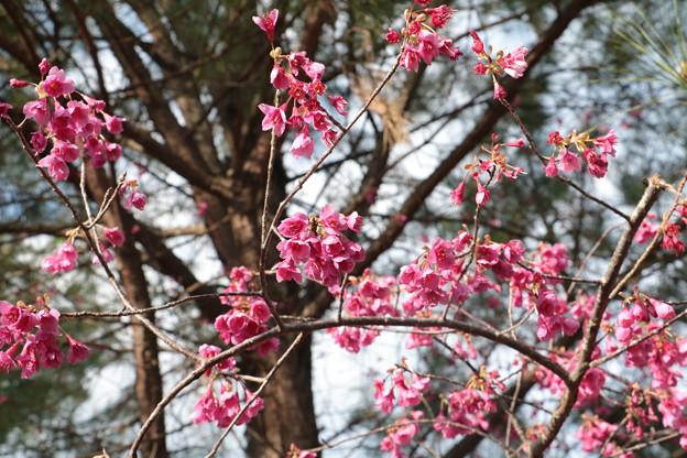 カンヒザクラ(寒緋桜) バラ科