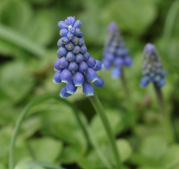 庭に咲いた。ムスカリ:キジカクシ科