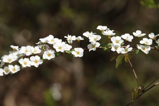 ユキヤナギ(雪柳)  バラ科
