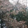 Photos: ヤマザクラ(山桜) バラ科