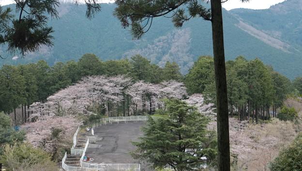 Photos: 奥山公園の桜ソメイヨシノ(染井吉野) バラ科