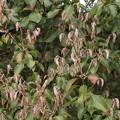 Photos: アラカシ(粗樫)  ブナ科の新芽