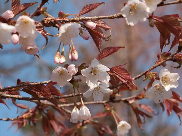 ヤマザクラ(山桜) バラ科