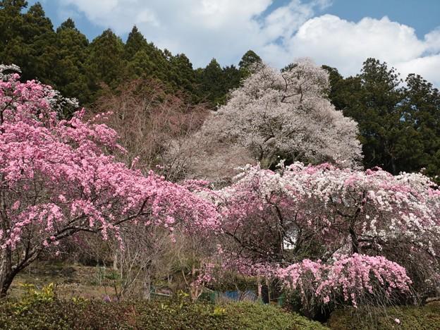 熊平家、ウスズミザクラ(薄墨桜) バラ科(エドヒガンザクラ)とハナモモ(花桃) バラ科