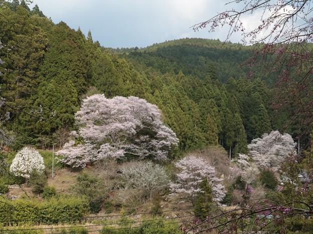 熊平家の桜