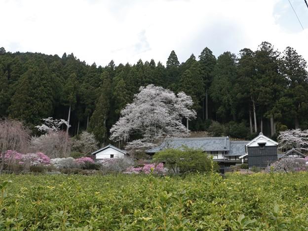 熊平家「くまだいらけ」の桜ウスズミザクラ(薄墨桜) 「エドヒガン」 バラ科