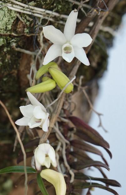 庭のセッコク(石斛) 別名:長生蘭(ちょうせいらん)   ラン科