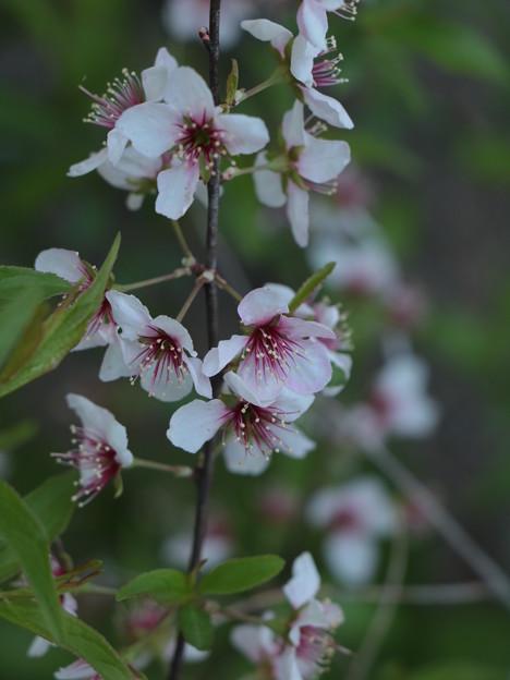 庭のユスラウメ(梅桃、梅桜、桜桃、山桜桃梅)  バラ科バラ科