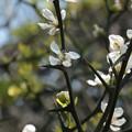 カラタチ(枸橘、枳殻)ミカン科の花