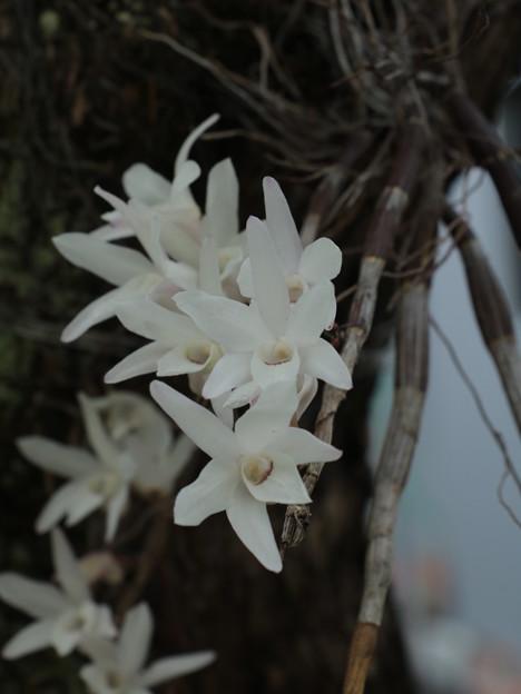 庭のセッコク(石斛) ラン科