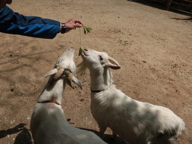 今日は富幕山の仲間(S)さんと偶然出会い同行26、949歩散歩です。ヤギ(山羊、野羊) ウシ科