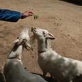 Photos: 今日は富幕山の仲間(S)さんと偶然出会い同行26、949歩散歩です。ヤギ(山羊、野羊) ウシ科
