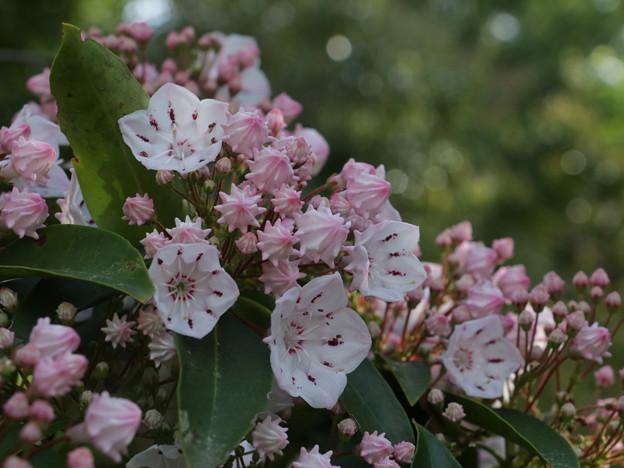 カルミア  :ツツジ科 別名:ハナガサシャクナゲ(花笠石楠花)