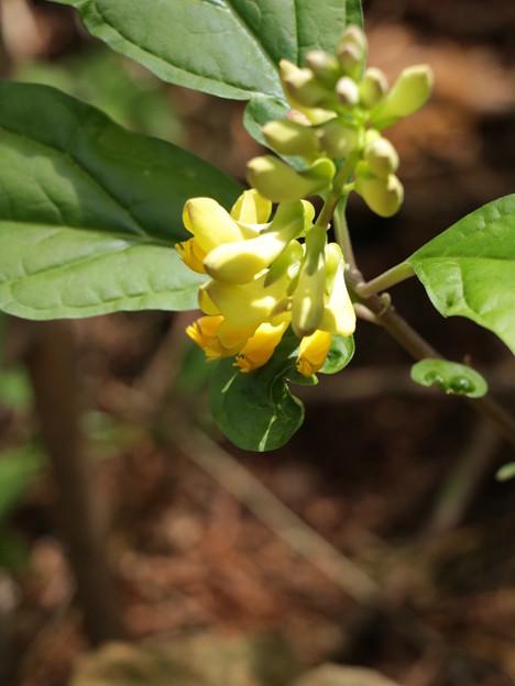 ナガバノカキノハグサ(長葉の柿の葉草)  ヒメハギ科