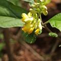 Photos: ナガバノカキノハグサ(長葉の柿の葉草)  ヒメハギ科