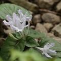Photos: イナモリソウ(稲森草)の白い花ですがシロバナイナモリソで(白花稲森草)アカバナ科では有りません・・