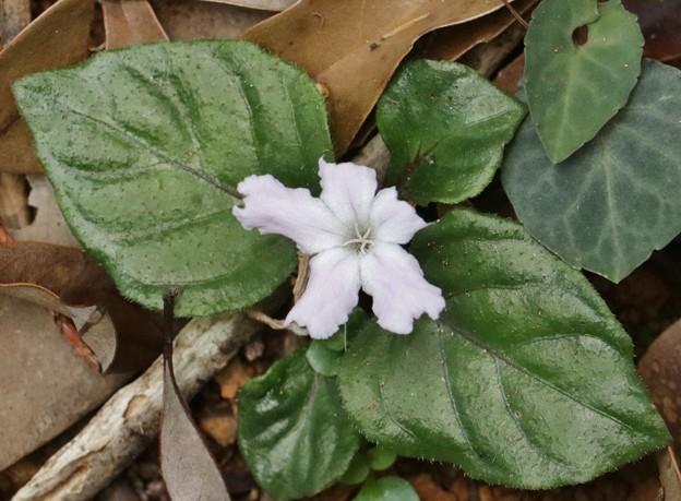 イナモリソウ(稲森草)アカバナ科の白い花ですが・・シロバナイナモリソウ(白花稲森草)アカバナ科では有りません・・
