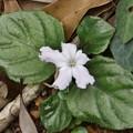 Photos: これはイナモリソウ(稲森草)アカバナ科の白い花ですが・・開花時期が少し遅いシロバナイナモリソウ(白花稲森草)アカバナ科では有りません・・