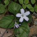 Photos: イナモリソウ(稲森草)の白い花、シロバナイナモリソウ(白花稲盛草)では有りません
