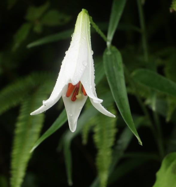 白花ササユリ(笹百合) ユリ科