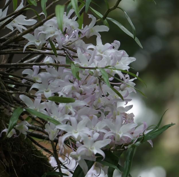 セッコク(石斛)  ラン科