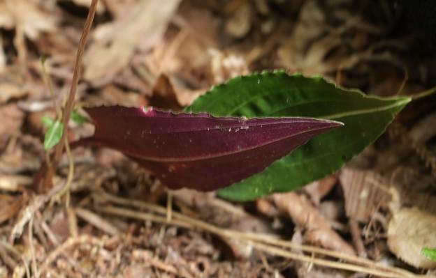 ヒトツボクロヒトツボクロ(一黒子)  ラン科 の葉と葉裏