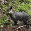Photos: ニホンカモシカ(日本氈鹿、日本羚羊) ウシ科