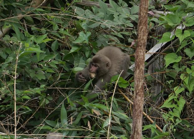ニホンザル(日本猿)  オナガザル科