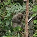 Photos: ニホンザル(日本猿)  オナガザル科