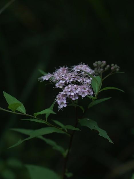 シモツケ(下野) バラ科