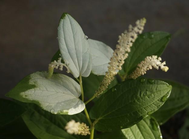 庭のハンゲショウ(半夏生、半化粧) ドクダミ科
