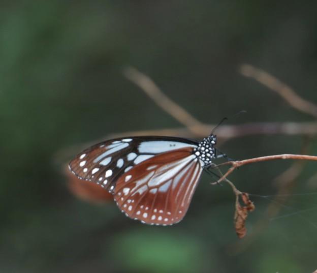 アサギマダラ(浅葱斑)  チョウ目タテハチョウ科