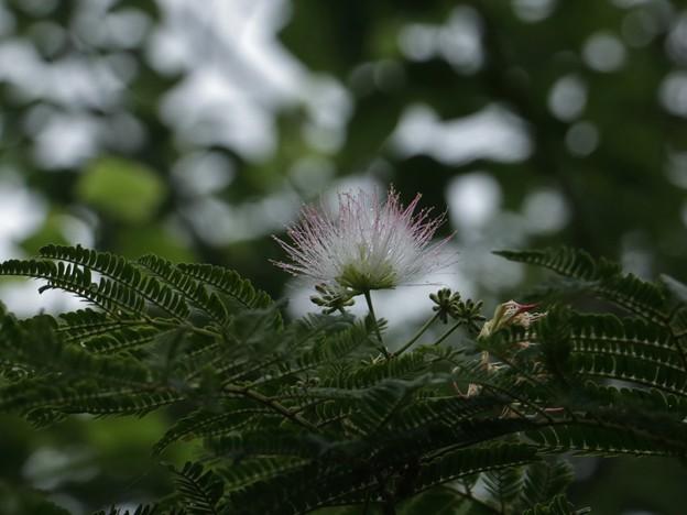 ネムノキ(合歓木、合歓の木)  マメ科