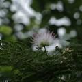 Photos: ネムノキ(合歓木、合歓の木)  マメ科