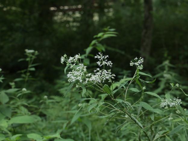 ヒヨドリバナ(鵯花) キク科
