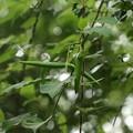 シタキソウ(舌切草) キョウチクトウ科 種