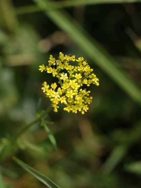 オミナエシ(女郎花) オミナエシ科
