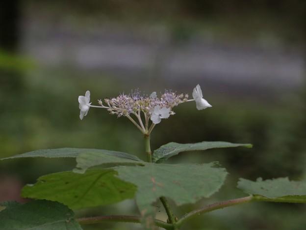 タマアジサイ(玉紫陽花)  アジサイ科