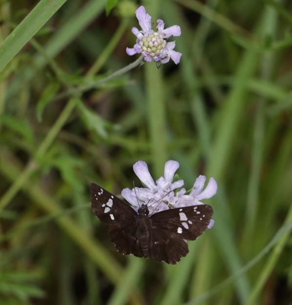 ダイミョウセセリ(大名挵)チョウ目(鱗翅目) セセリチョウ科