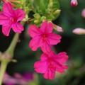 庭のオシロイバナ(白粉花、白粧花) オシロイバナ科