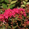庭のサルスベリ(百日紅、ひゃくじつこう、猿滑、さるすべり、紫薇、しび) ミソハギ科