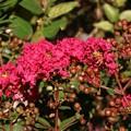 Photos: 庭のサルスベリ(百日紅、ひゃくじつこう、猿滑、さるすべり、紫薇、しび) ミソハギ科