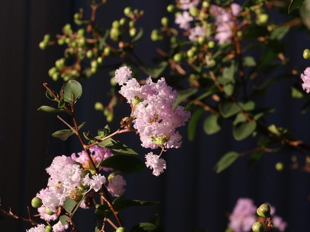 庭のサルスベリ(百日紅=ヒャクジツコウ、猿滑、紫薇) ミソハギ科