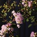 Photos: 庭のサルスベリ(百日紅=ヒャクジツコウ、猿滑、紫薇) ミソハギ科