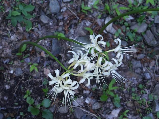 白花:ヒガンバナ(彼岸花) ヒガンバナ科