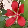 庭のモミジアオイ(紅葉葵) アオイ科