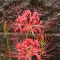 庭のヒガンバナ(彼岸花)