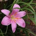 庭のゼフィランサス「サフランモドキ」ヒガンバナ科