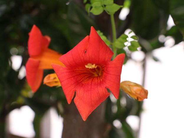 庭のノウゼンカズラ(凌霄花) ノウゼンカズラ科