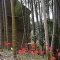 Photos: ヒガンバナ(彼岸花) ヒガンバナ科 別名:曼珠沙華(マンジュシャゲ